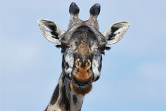 Portrait of a giraffe. Photographed from the front, horizontally and with its mouth open Stock Photos