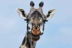 Portrait of a giraffe Stock Photos