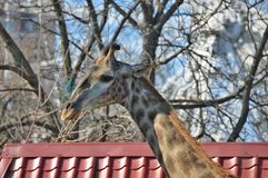 Portrait giraffe Stock Images