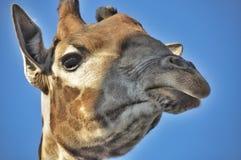 Portrait giraffe Stock Photo