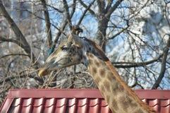 Portrait giraffe Royalty Free Stock Photography