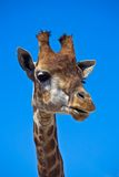 Portrait of giraffe Stock Photography