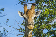 Portrait of a giraffe in savannah in Kruger National Park, South Africa Royalty Free Stock Image
