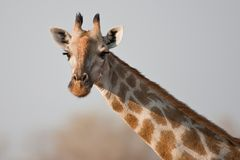 Portrait of a giraffe in southern Africa. Royalty Free Stock Photography