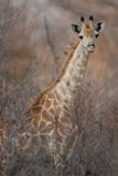 Portrait of a giraffe in southern Africa. Royalty Free Stock Photo
