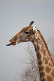 Portrait of a giraffe in southern Africa. Royalty Free Stock Photos