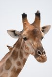 Portrait of a giraffe in southern Africa. Stock Photos