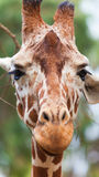 Portrait of a giraffe Royalty Free Stock Photo