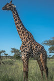 Portrait Of Giraffe Standing Serengeti National Park Stock Image