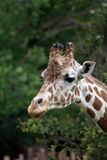 Portrait of a giraffe Stock Photography