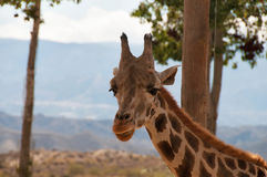 Portrait of giraffe watching on you Stock Photography