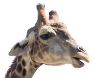 Portrait of a giraffe on a white background.  Royalty Free Stock Photo