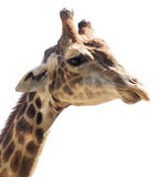 Portrait of a giraffe on a white background.  Stock Image