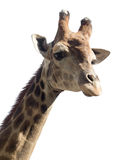 Portrait of a giraffe on a white background.  Royalty Free Stock Photography