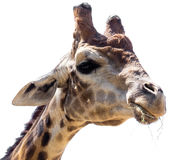 Portrait of a giraffe on a white background.  Stock Photos