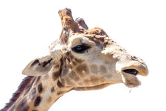 Portrait of a giraffe on a white background Stock Photos