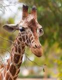 Portrait of a giraffe, wildlife Stock Images