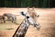 Portrait of Giraffe with Zebras in backround. Close up portrait of cute Giraffe with blurred Zebras in background in the daytime in Dalian forest zoo China royalty free stock photos