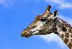 Portrait of a giraffe. Royalty Free Stock Photos