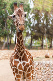 Portrait of a giraffe, zoo Royalty Free Stock Photos
