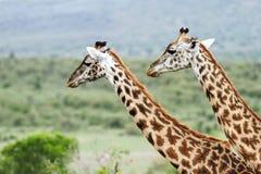 Portrait of Giraffes Stock Photos