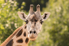 Portrait of a girrafe Stock Images