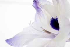 Portrait of a Gladiola Royalty Free Stock Photography