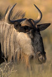 Portrait of gnu. Taken in the Kalahari desert Royalty Free Stock Photos