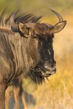 Portrait of a gnu. The picture was taken in Etosha Park, Namibia Stock Photography
