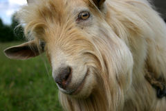 Portrait of a goat. Close-up of a smiling goat. Seems she is greeting you Royalty Free Stock Photos