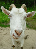 Portrait of a goat. On a background of a grass and sand Royalty Free Stock Images