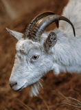 Portrait goat Royalty Free Stock Photos