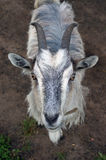 Portrait of a goat. Closeup portrait of a goat with horns Royalty Free Stock Image