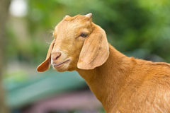 Portrait of goat Stock Photography