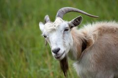 Portrait of goat Stock Image