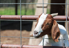 Portrait of a Goat Royalty Free Stock Image