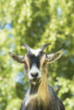 Portrait of a goat. Portrait of an African dwarf goat looking into the camera Royalty Free Stock Photo