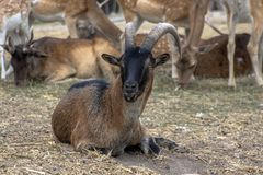 Portrait of a goat in the background of a group of deer. Hadjidimovo, Bulgaria. royalty free stock images