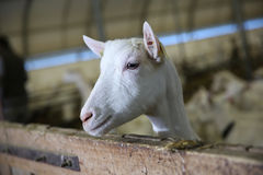Portrait of a goat in barn Royalty Free Stock Image