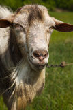Portrait of a goat with a beard on a green pasture Royalty Free Stock Image