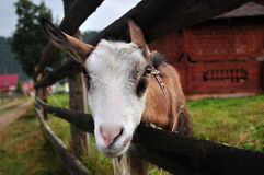 Portrait of a goat Royalty Free Stock Photo