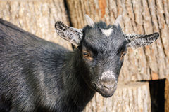 Portrait of Goat. Portrait of Black Goat with Small Horns Royalty Free Stock Photos