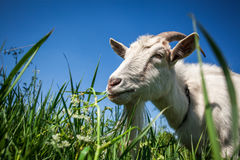 Portrait of a goat chewing Royalty Free Stock Photography