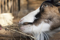 Portrait of  goat chewing hay Stock Photos