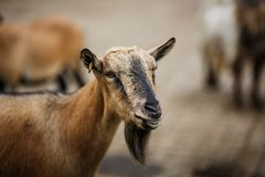 Portrait of Goat Stock Images