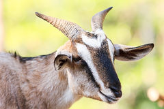 Portrait of a goat. Close up on goat head side view Royalty Free Stock Photography