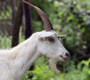 Portrait of a goat Stock Images