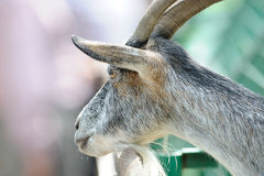 Portrait of the goat with DOF Royalty Free Stock Images