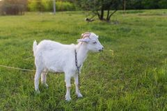 Portrait of goat eating a grass on meadow Royalty Free Stock Image