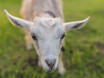Portrait of goat eating a grass on meadow Stock Image
